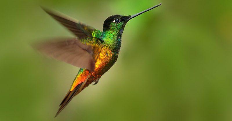Hummingbirds Deluge Block EU Green Pass